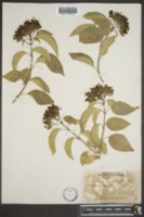 Image of Clerodendrum glabrum
