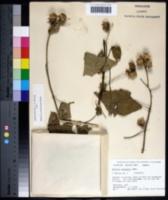Image of Hibiscus sudanensis