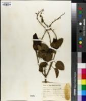 Image of Croton peruvianus