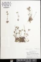 Houstonia canadensis image