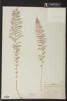 Pteris bahamensis image