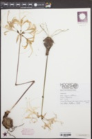 Image of Lycoris albiflora