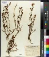 Image of Nierembergia aristata