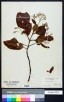 Image of Cinchona officinalis