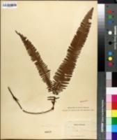 Image of Gleichenia pubescens
