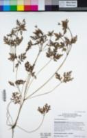 Geranium palmatum image