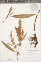 Rumex verticillatus image
