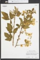 Image of Rubus prestonensis