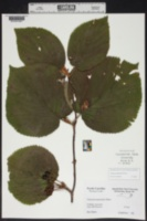 Viburnum lantanoides image