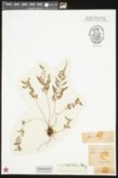 Image of Asplenium bipartitum