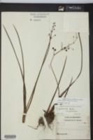 Sagittaria graminea subsp. graminea image