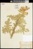 Argemone munita image