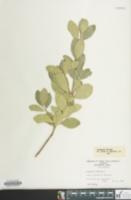 Euonymus japonicus image