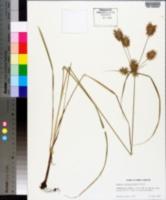 Cyperus lancastriensis image
