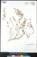 Acmispon argophyllus image