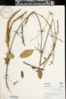 Anisostichus capreolata image