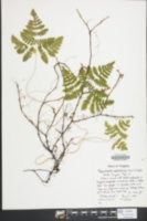 Gymnocarpium appalachianum image