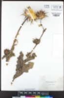 Silybum marianum image