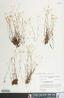 Sabulina glabra image
