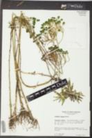 Polygala cymosa image