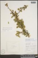 Bumelia altamiranoi image