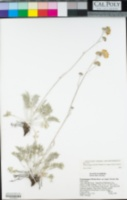 Hymenopappus filifolius var. lugens image