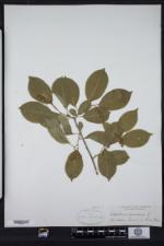 Celastrus scandens image