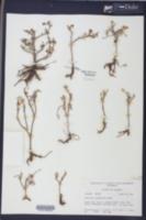 Portulaca phaeosperma image