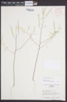Polanisia tenuifolia image