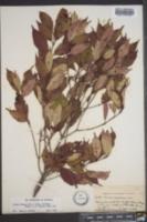 Cornus racemosa image