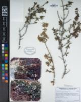 Image of Ceanothus fresnensis