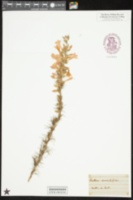 Gilia coronopifolia image
