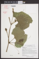 Lagenaria siceraria image