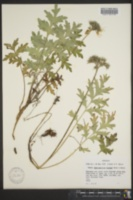 Image of Hydrophyllum brownei