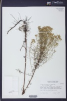 Image of Euthamia microcephala