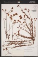 Eriogonum fasciculatum var. fasciculatum image