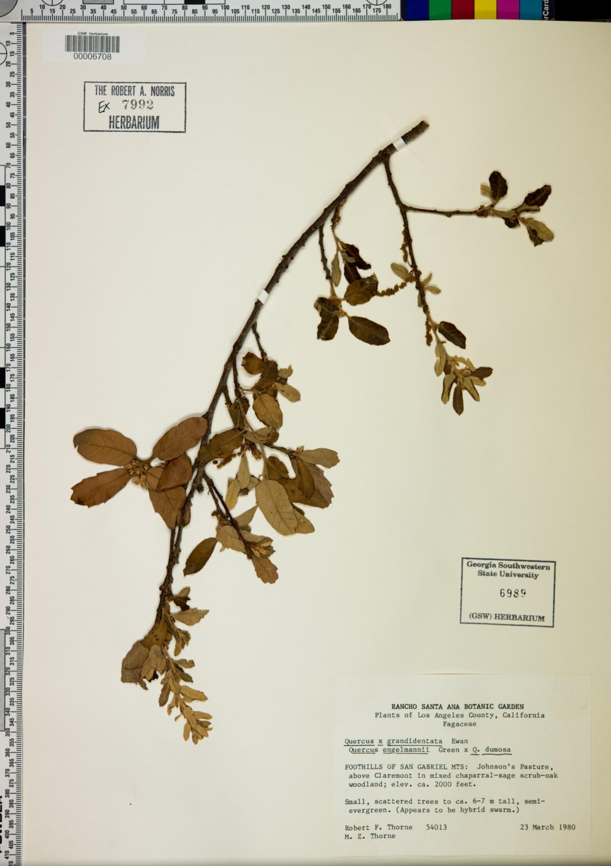 Quercus x grandidentata image