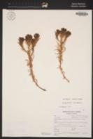Dicranostegia orcuttiana image