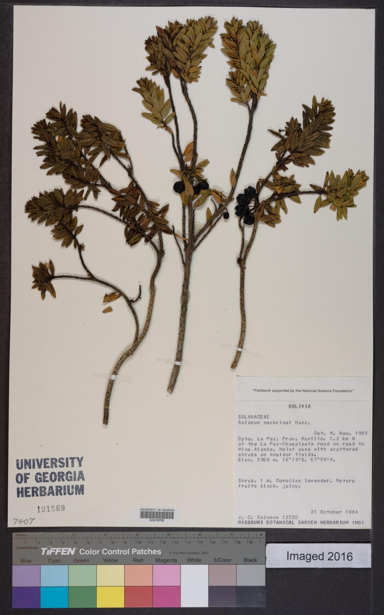 Solanum macbridei image