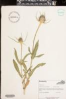 Dipsacus fullonum subsp. sylvestris image