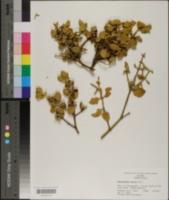 Phoradendron serotinum subsp. tomentosum image