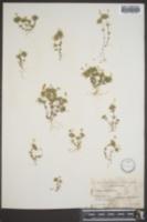 Image of Linanthus acicularis