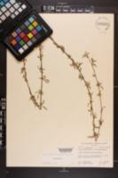 Salix babylonica' image