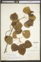 Image of Populus smithii