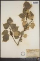Populus tacamahaca image
