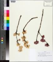 Prunus serrulata image