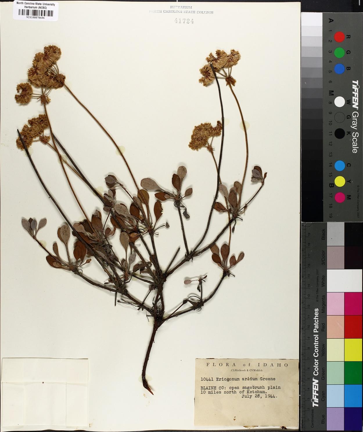 Eriogonum aridum image