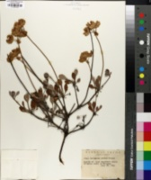 Image of Eriogonum aridum