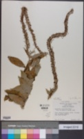 Image of Lysimachia barystachys