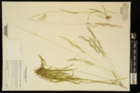 Image of Sphenopholis longiflora